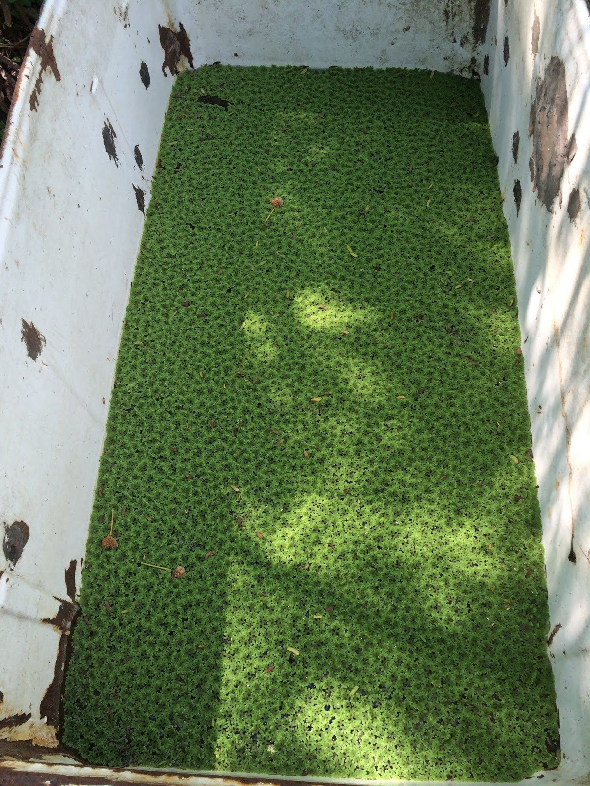 Azolla and Future Agriculture