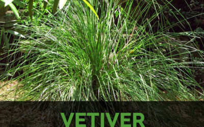 Can Riverbanks and Canals be maintained with Vetiver grass?